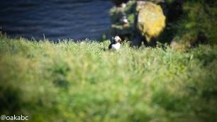 นกพัฟฟินที่ Borgarfjörður Eystr จุดนี้เรียกว่า Hafnarholmi